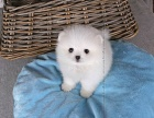 纯种哈多利版球体茶杯犬博美幼犬俊介幼犬 包纯种健康