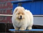 哪里卖松狮犬幼犬松狮多少钱一只紫舌松狮图片