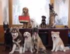 石家庄训犬宠物犬习惯训练