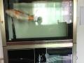 锦鲤➕鱼缸一起