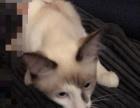 4000元售卖双色布偶猫