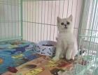 出售 纯种银渐层赛级英短短毛猫 驱虫疫苗齐 保纯保