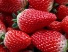 2017年冬季 聊城泰丰农场 有机草莓采摘 订购