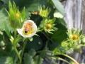 胶南草莓采摘去哪里,新茂家庭农场满足你