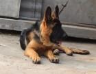 贵阳纯种德国牧羊犬价格 贵阳哪里能买到纯种德国牧羊犬