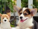 佛山养狗场出售多种宠物狗 纯种柯基犬多少钱一只 多窝挑选