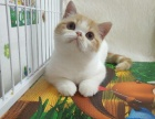广州本地猫舍,繁育英短蓝猫,带cfa证书保健康