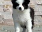 重庆哪里出售边境牧羊犬 重庆宠物店信誉好