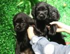 拉布拉多家庭陪伴犬 幼犬专业繁殖导盲犬乖巧听话出售