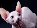 斯芬克斯加拿大无猫毛 纯白鸳鸯眼妹妹 三个月找新家