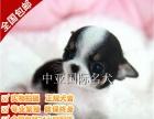 宠物狗 纯种吉娃娃幼犬 视频看狗 免费送货上门