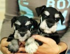 纯种雪纳瑞犬健康保证疫苗已做好可放心喂养