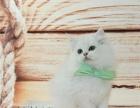 高端精品 双蓝布偶猫幼猫