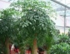 买花、租花、绿植租摆,找【绿鼎花卉】绿萝、发财树