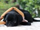 本地犬舍繁殖巴哥犬出售 纯种健康 价格优惠