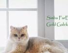 海外代购赛级纯种猫,金渐层蓝金渐层蓝猫等各种品种