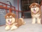福建哪里有卖阿拉斯加 漳州哪里有卖阿拉斯加幼犬