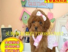 国内较大犬舍繁殖基地 出售泰迪幼犬 苹果头娃娃脸