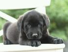 重庆出售纯种拉布拉多幼犬活体家养拉布拉多包健康