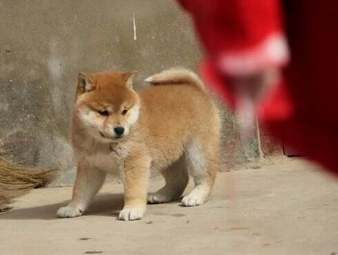 赛级 纯种日系柴犬出售中 驱虫 防疫已做完 健康有保障
