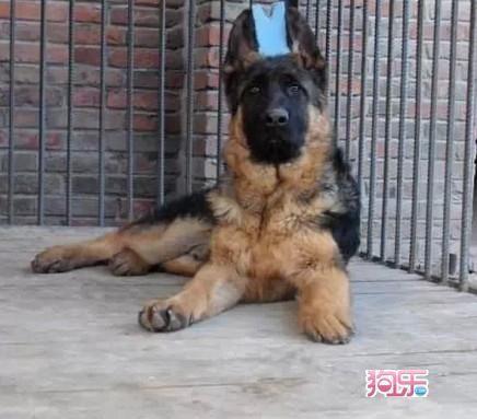 本场出售纯种德国黑背犬 黑背幼犬 品质好 血统保证