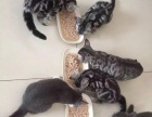 出售虎斑蓝猫宝宝