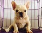 正规犬舍出售精品斗牛幼犬包健康签协议送用品