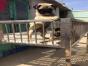 自家大狗生了一窝八哥犬可以上门看狗父母