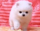 韩系 哈多利球体博美,俊介 小体大眼睛