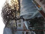 出售龙须槐和紫藤