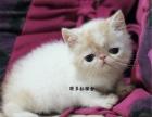 猫舍出售纯种胖嘟嘟的加菲猫 蓝猫 美短 金吉拉等名猫签订协议