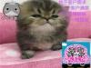 小米猫苑出售金吉拉可