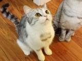 大同出售布偶猫 温顺黏人 仙女气质 包纯种健康