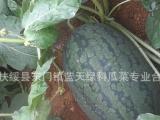 广西产地西瓜批发 千亩农田新鲜优质黑美人西瓜 麒麟瓜 瓜田直销