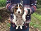 出售纯种比格幼犬/米格鲁幼犬出售/猎兔犬/比格犬/家庭犬宠物