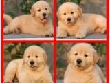 实体狗场直销三十多种名犬 价格实惠 签协议可送货 金毛犬价格