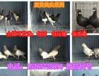农户大型养殖场出售特大元宝鸽 ,各种观赏鸽, 价格实惠!