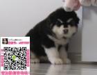 重庆阿拉斯加买狗网 重庆阿拉斯加求购 重庆阿拉斯加图片价格