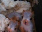 魔王松鼠,金花鼠,土拨鼠,雪地松鼠