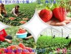 平谷京东大溶洞景区 农家院 采摘草莓 冬季一日游
