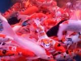 上海锦鲤鱼市场