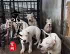 咸阳哪里有卖纯种杜高犬的
