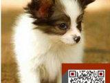 蝴蝶犬黑白 黄白蝴蝶犬漂亮 活泼可爱多只挑选