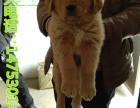 山东养狗场出售金毛犬幼犬价格 全国包邮