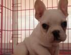 兰州纯种法国斗牛犬 价格 兰州哪里能买到纯种法国斗牛犬