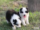 专业繁殖 犬舍直销世界名犬 品质保障 签协议 保证血统纯正