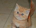 纯种血统加菲猫 品相极好包子脸大眼睛,保健康