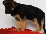 北京国泰宠物狗场出售德牧黑贝犬多少钱2500到30000元