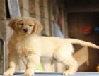 自家养的双血统阿拉斯加一窝小狗待售 欢迎上门挑选金毛犬阿拉斯