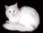 萌宠波斯猫 身体健康活泼可爱 看猫 上门亲选